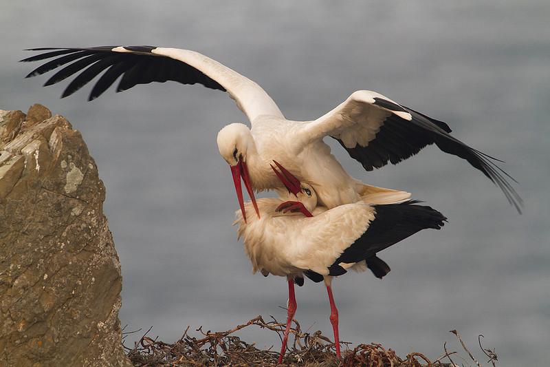 White Stork. 2012