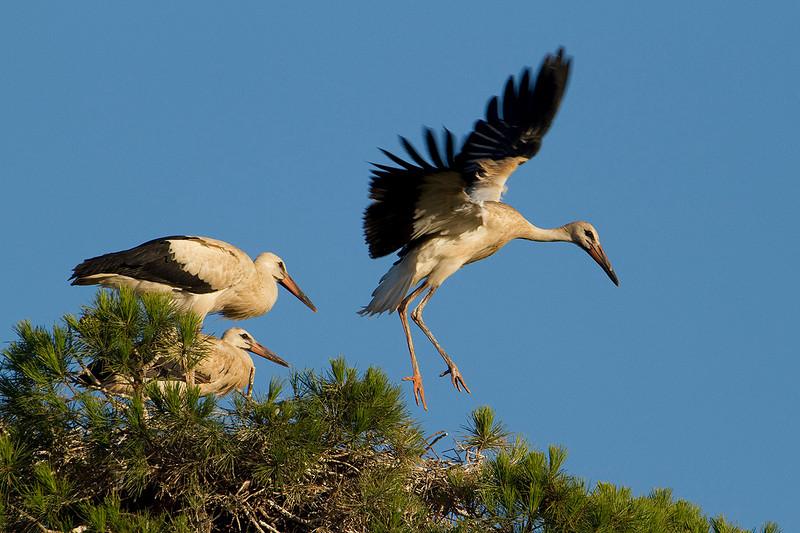 White stork. (Ciconia ciconia). Sanlúcar.