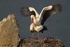White Stork (Ciconia ciconia). Cigüeña blanca. 2012