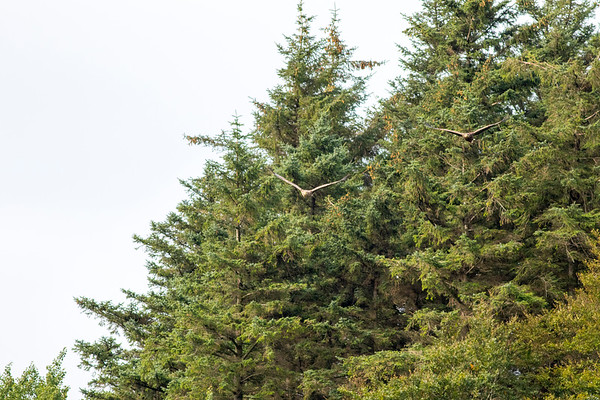 Double Trouble - White Tailed Eagle