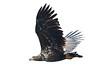 Juvenile White Tailed Eagle