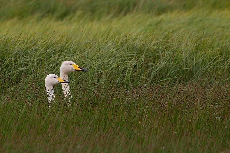 Whooper swan (Cygnus cygnus). Pareja de Cisnes cantores