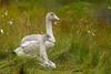 Young Whooper Swans (Cygnus cygnus)