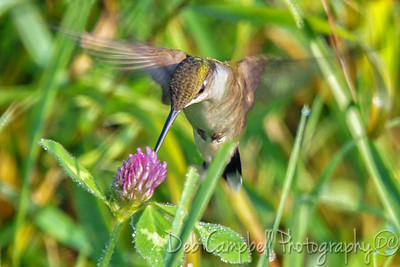 Ruby Throated Hummingbird on Red Clover