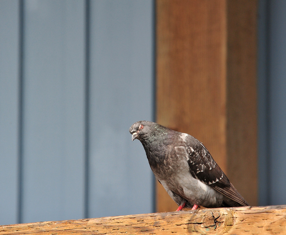 Pigeon from Hell