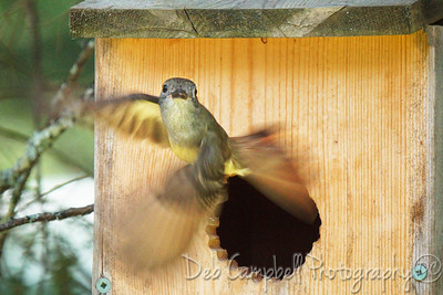 Great Crested Flycatcher Leaving Nest