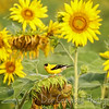 American Goldfinch (male) enjoying sunflower seeds