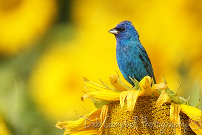 Indigo Bunting in the Sunflower field