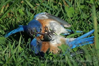 Brawling Bluebirds