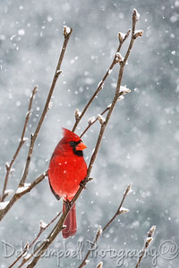 Red Bird on a Winters Day