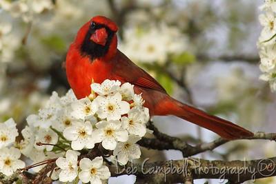 Male Northern Cardinal on Bradford Pear Tree.