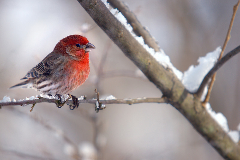 Male House Finch March 2009