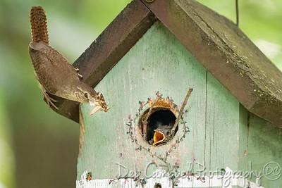 House Wren nesting box