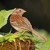 Field Sparrow on dead Sunflower