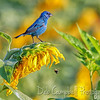 Indigo Bunting and a Bee
