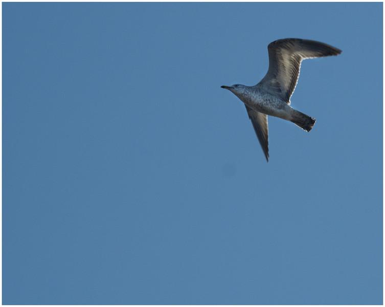 Lone Seagull, Huntley Meadows, Alexandria, Virginia, 2008