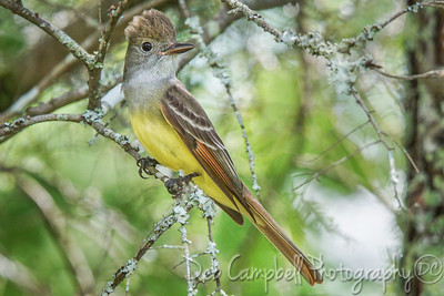 Great Crested Flycatcher (male)