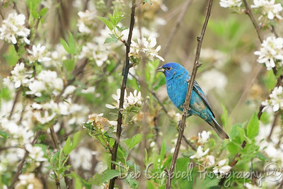 Indigo Bunting on Blackberry blooms