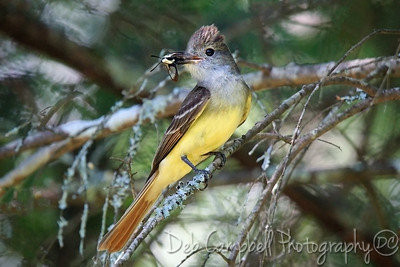 Great Crested Flycatcher with Hummingbird Moth