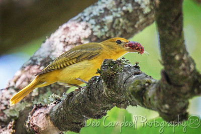 Summer Tanager (female) with Mulberry