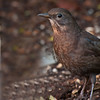 Blackbird - Oxford Garden