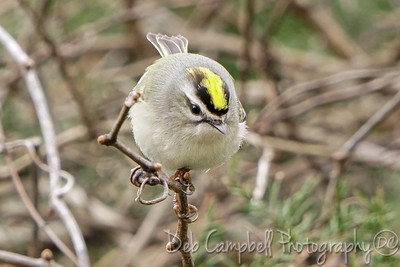 Golden Crowned Kinglet (male)