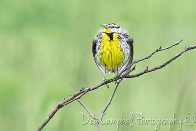 Fluffed up Eastern Meadowlark (male)