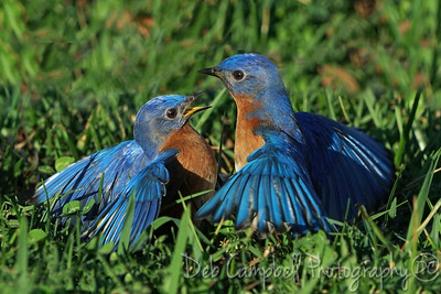 Fighting Bluebirds