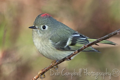 Ruby Crowned Kinglet (male)