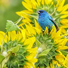 Indigo Bunting on Sunflowers