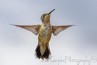 Juvenile Ruby Throat Hummingbird (male)