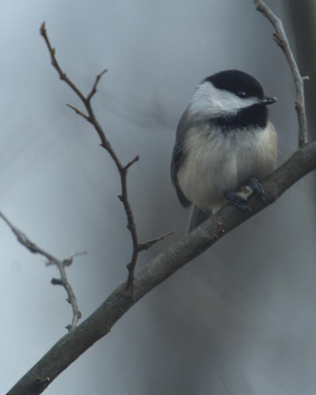 Black-capped Chickadee, January 2008