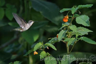Ruby Throated Hummingbird on Jewelweed