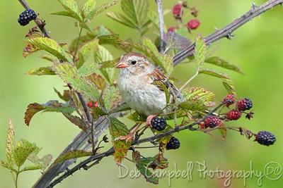 Field Sparrow in Blackberry Patch