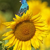 Indigo Bunting (male) posing on Sunflower