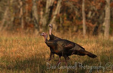 Wild Turkey  Cades Cove Great Smoky Mountains