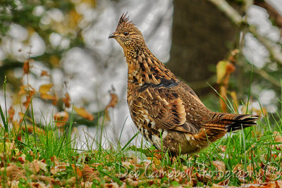 Ruffed Grouse (male)