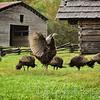 Turkey Flock at Lawson Place