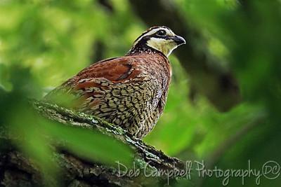 Northern Bobwhite Quail Seven Islands State Birding Park Kodak, Tennessee