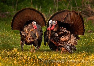 A trio of Tom Turkey's in Cades Cove
