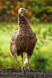 Wild Turkey Poser