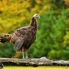 Wild Turkey Fall Color