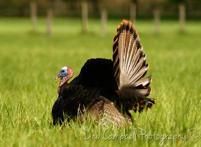 Wild Tom Turkey Cades Cove Great Smoky Mountains