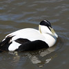 Common Eider (Somateria Mollissima)  Male