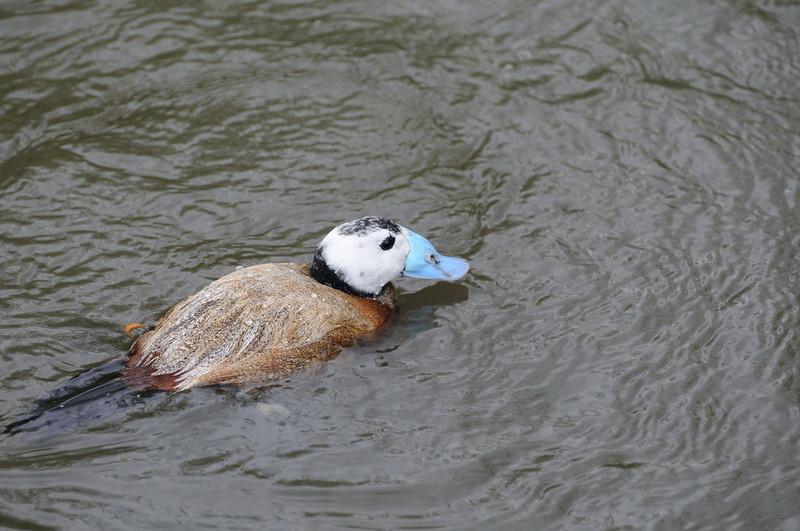 White-headed Duck (Oxyura leucocephala)