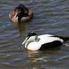 Common Eider (Somateria Mollissima). Upper female, lower male>