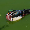 American Wood Duck (Aix sponsa)