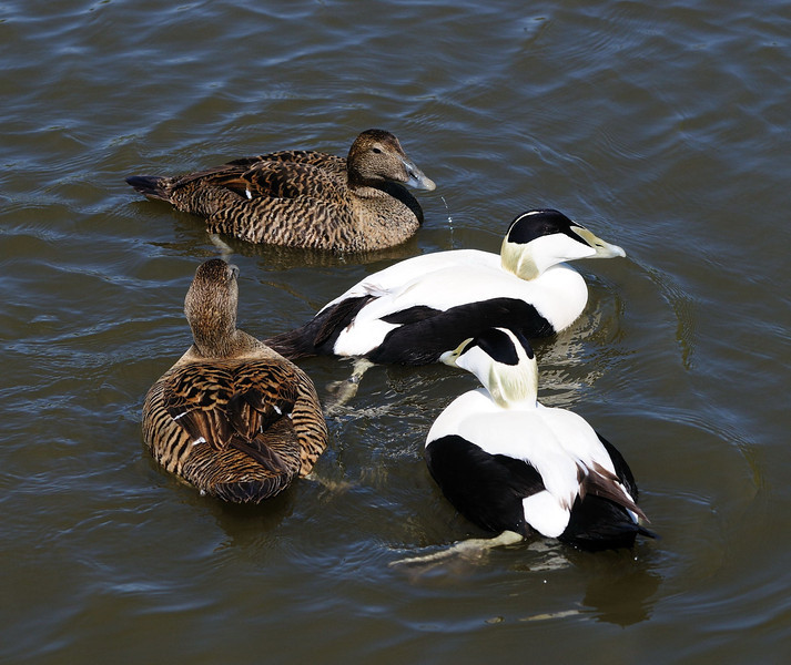 Common Eider (Somateria Mollissima)  Two males and two females.