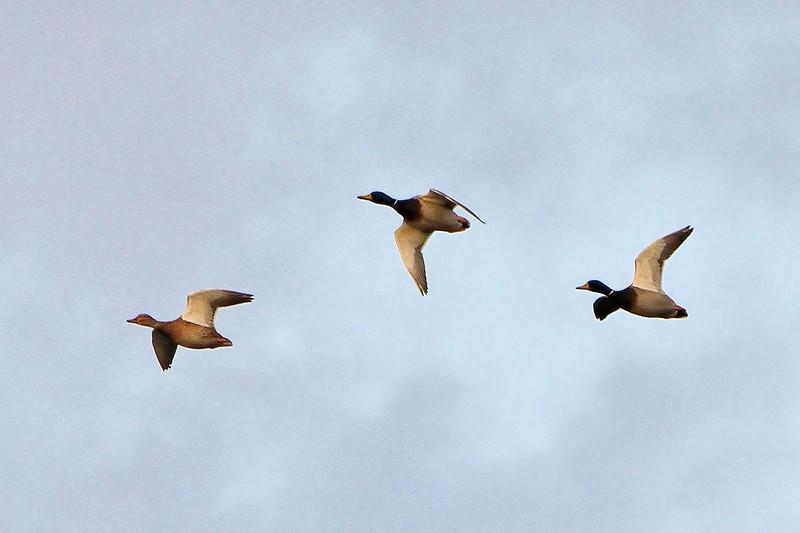 Mallard in flight, RSPB, Mersehead.