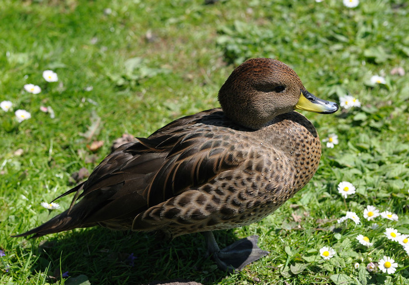 Yellow-billed Duck (Anas Undulata) [May need revision]